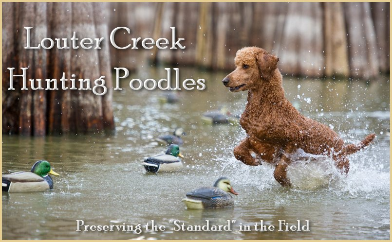 Welcome to Louter Creek Hunting Poodles.