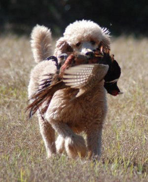 One of our Poodles featured on Pheasants Forever magazine.